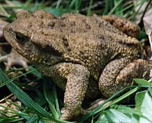 Серая или обыкновенная жаба на webanan.ru