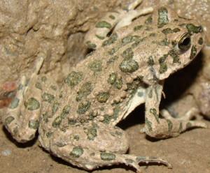 Зеленая жаба на www.webanan.ru